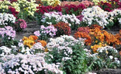 Фавориты осенних цветов: В Донецке показали цветение хризантем в Ботаническом саду (Фото)