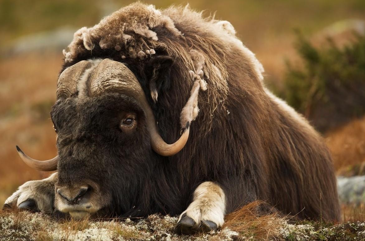 Фейгин хочет доказать, что не занимался сексом с овцебыком