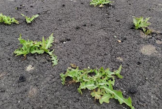 На Днепропетровщине через новенький асфальт проросла трава, ее вырубили топором
