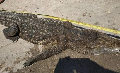 Найденный на Арабатской стрелке крокодил оказался мертвым