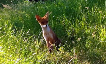 Зоологи пояснили, почему Донецк атакуют лисы, зайцы и белки (Фото)