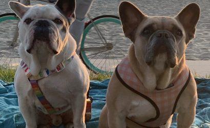 Собак Леди Гаги вернули: Они уже у певицы