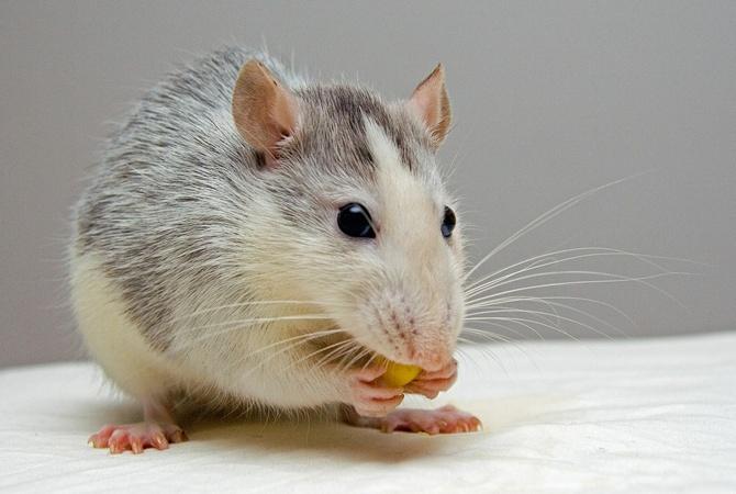 В США крысы научились водить машинку