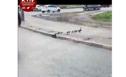 В центре Киева водители остановили движение на проспекте, чтобы пропустить утку с утятами
