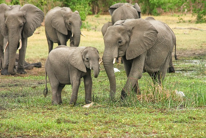 От голода в Африке погибли 55 слонов