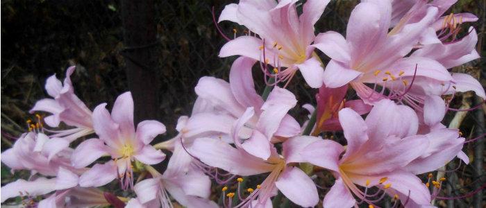 Жительница Краматорска выращивает 500 сортов лилий и готовит фотокаталог по их разведению