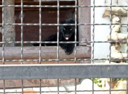 Под Полтавой в экопарке пантера набросилась на мужчину, пострадавшего прооперировали