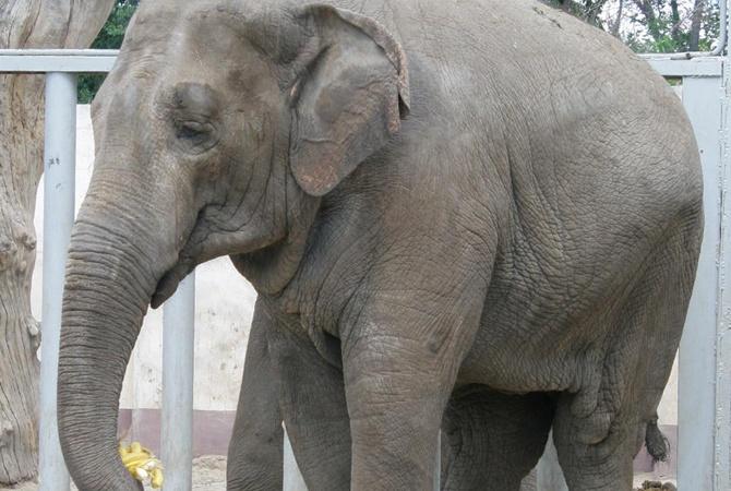 В Харьковском зоопарке умерла слониха Тенди — первая, рожденная в Украине