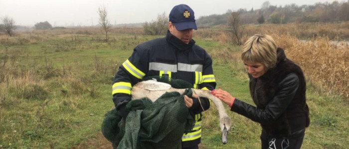 Отбился от стаи: На Донетчине спасали лебедя (Фото)