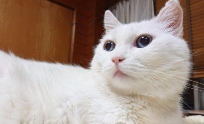 Умер длинный кот из Японии, герой интернет-мемов