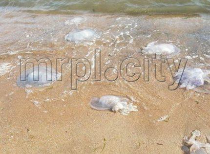 Большие, до 50 см: В Мариуполе на пляже – десятки мертвых медуз (Фото)