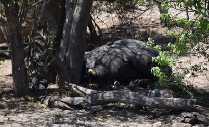 Ученые выяснили неожиданную причину массовой гибели слонов в Ботсване