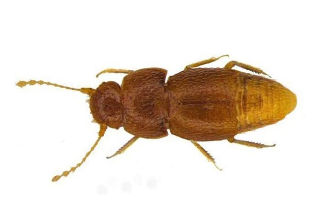 Новый вид жуков назвали в честь шведской активистки Греты Тумберг