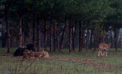 На Черниговщину вернулись первобытные быки