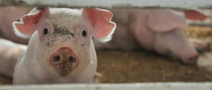 На Донетчине снизилось число вспышек африканской чумы свиней