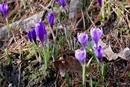 На Закарпатье началось массовое цветение шафранов