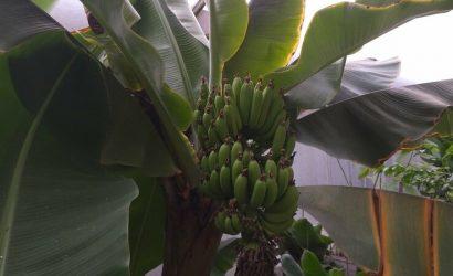 Ананас, папайя, маракуйя… Под Северодонецком выращивают экзотические фрукты