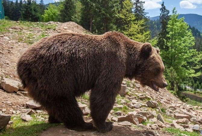 В Карпатах медведи устраивают налеты на пасеки и скот