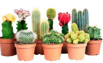 Как ухаживать за кактусом: основные правила