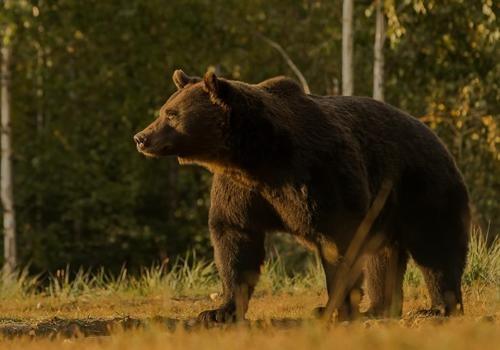 Принца Лихтенштейна обвиняют в убийстве самого большого медведя Евросоюза