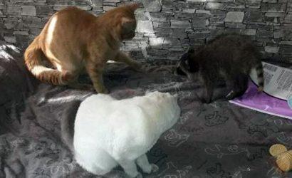 Вместе с котами: В многоэтажке Краматорска живет енот-полоскун (Фото, видео)